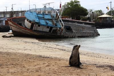 A sea lion full of beach sand in San Cristobal