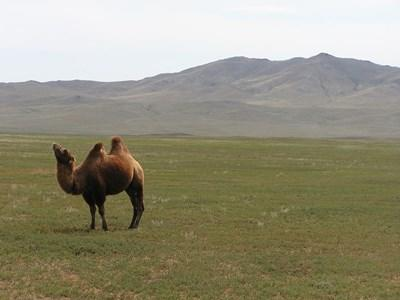 Camel in the mountains of Mongolia