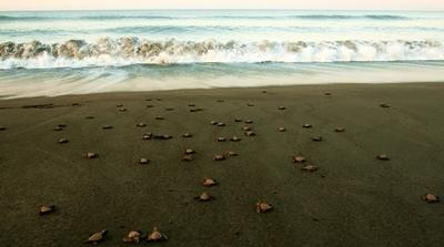 Turtle hatchlings are released into the ocean