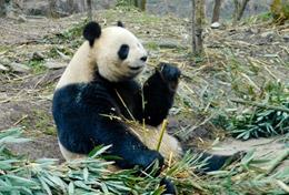 A panda bear eating bamboo shoots at our Care & Pandas placement for high school volunteers.