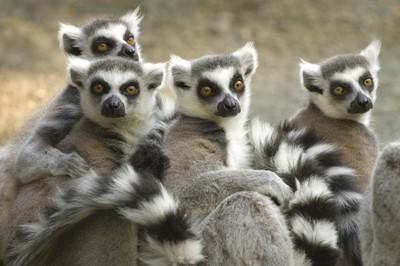 Lemurs at the conservation project in Madagascar.
