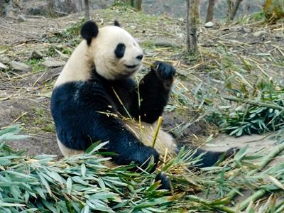 Volunteer with pandas