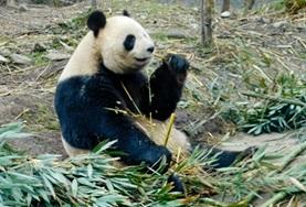 A giant panda eating bamboo shoots at the conservation and research centre where we run our volunteer Animal Care project in China.
