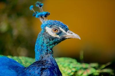 A peacock in the Pumakawa animal reserve where Projects Abroad works